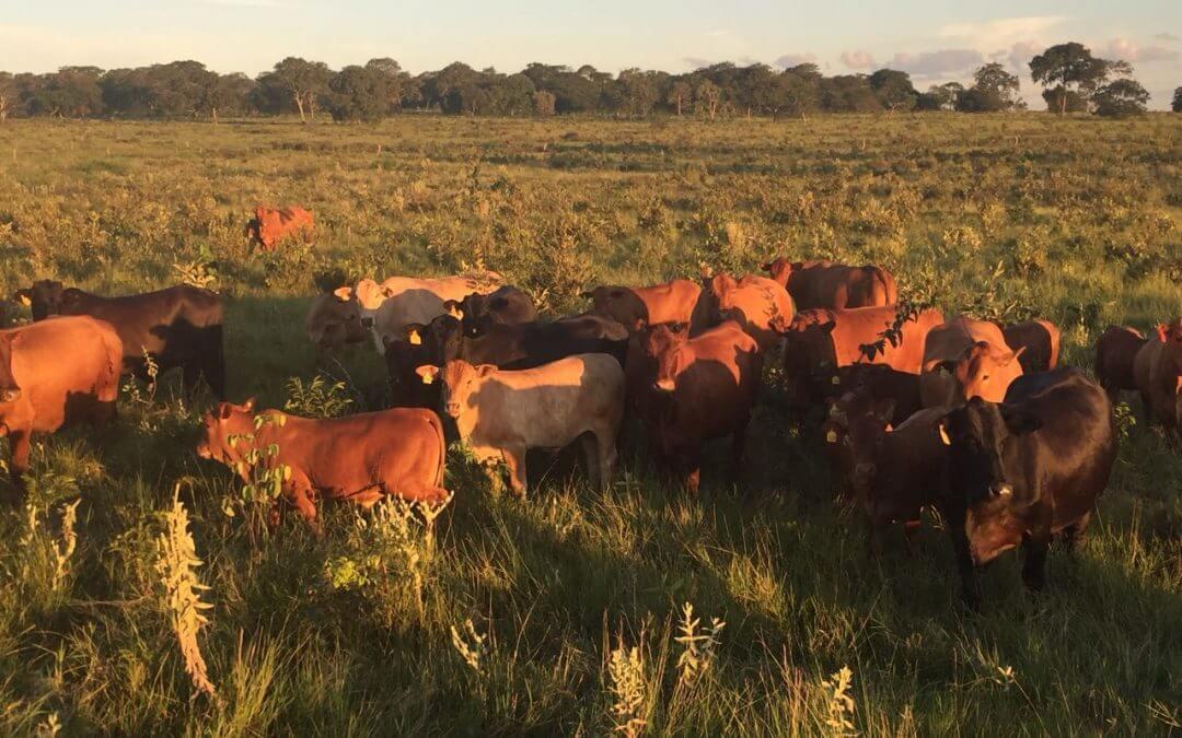 Fêmeas Montana atingem taxa de 81,48% de prenhez com IATF em propriedade do Mato Grosso do Sul