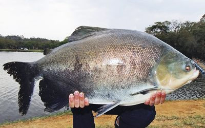 Atenção à escolha dos peixes. Eles precisam estar frescos!