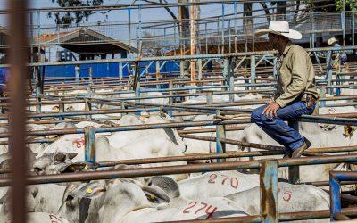 CFM vendeu 1.353 touros Nelore CEIP para 14 estados, em 2018