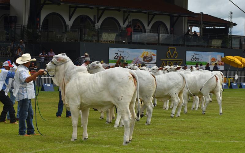 Expoinel Minas marca início das exposições da raça Nelore para o ranking nacional da ACNB