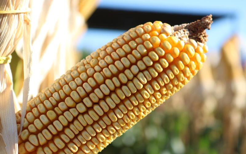 Nutrição com enxofre e potássio potencializa desenvolvimento do milho