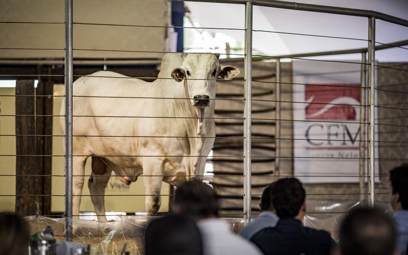 Em agosto, o Megaleilão Nelore CFM venderá 1.000 touros Nelore CEIP