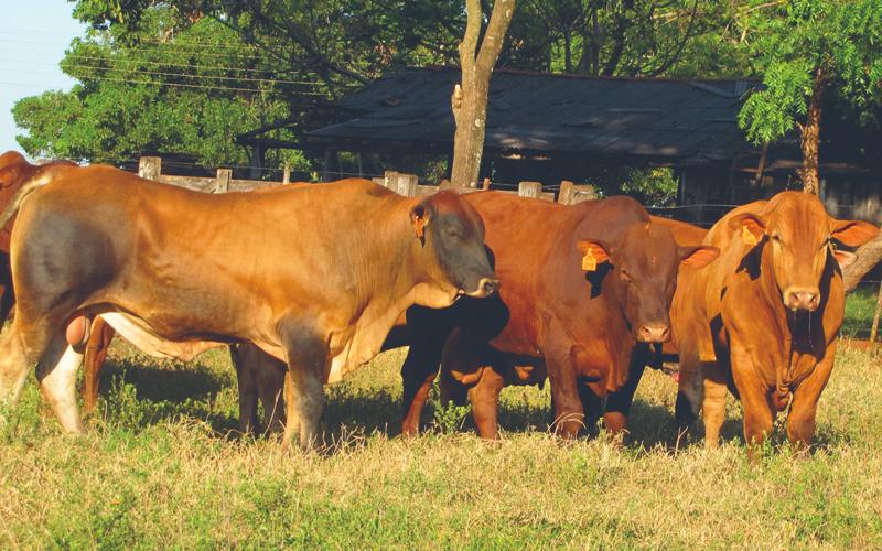Nova safra com mais de 1.000 touros jovens Montana CEIP já está pronta para venda