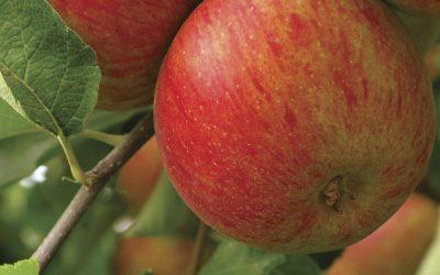 Soluções para pomares de maçã são destaques da Brandt do Brasil no Seminário Internacional de Fruticultura, em Vacaria (RS)