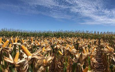 Brandt do Brasil leva soluções para lavouras de milho a agricultores de Joviânia (GO)