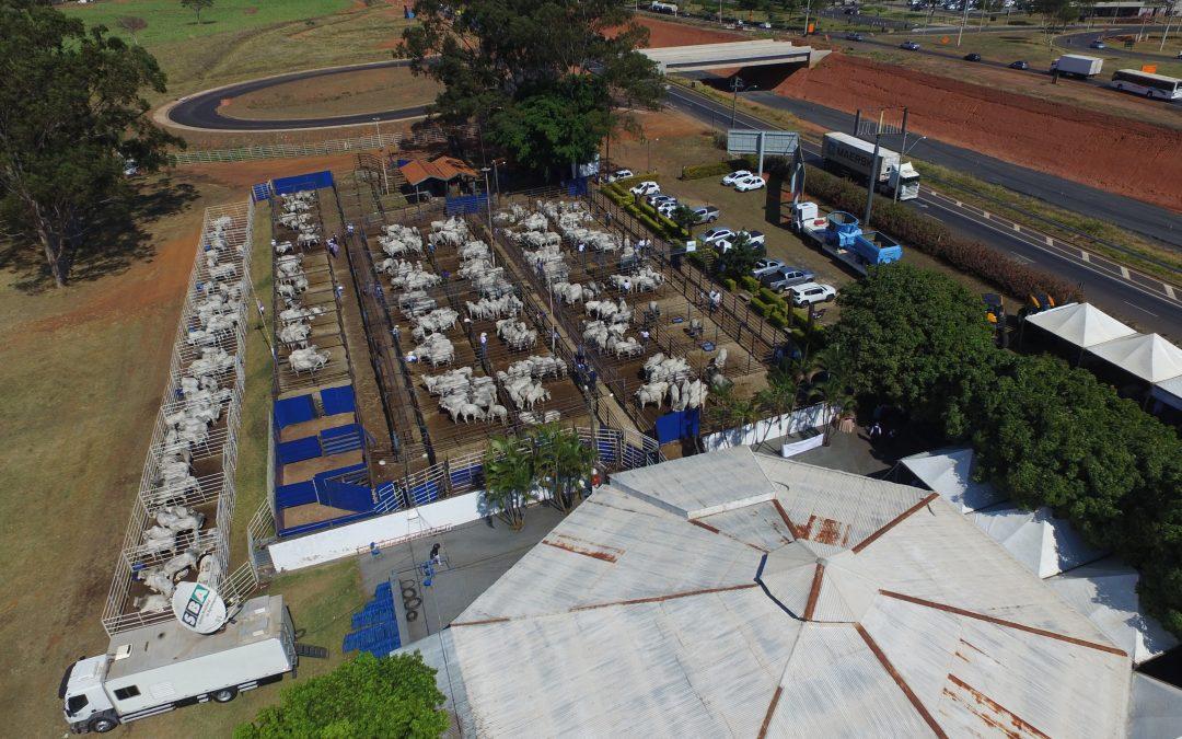 Megaleilão Nelore CFM venderá 1.000 touros avaliados a campo e prontos para a estação de monta