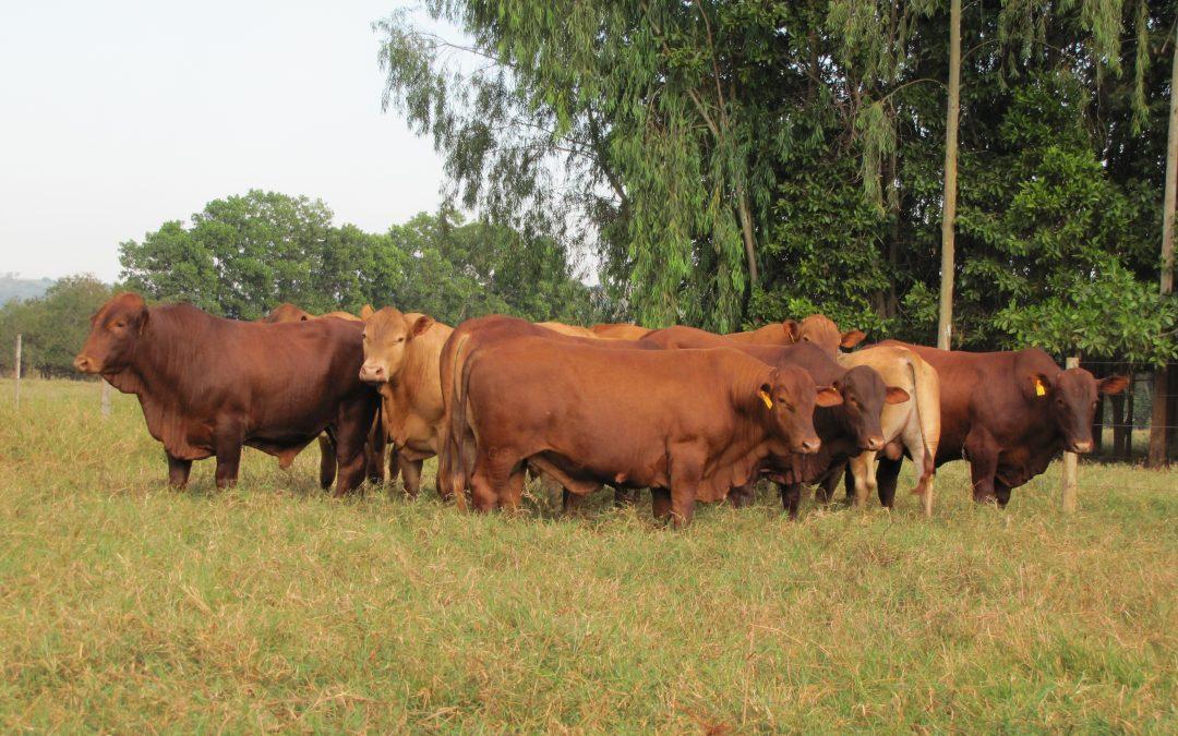 MEGALEILÃO VIRTUAL MONTANA ofertará 50 touros TOP 1 a 5%