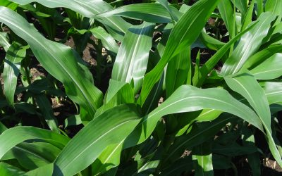 Estresse hídrico do milho prejudica absorção de nutrientes, alerta Brandt do Brasil