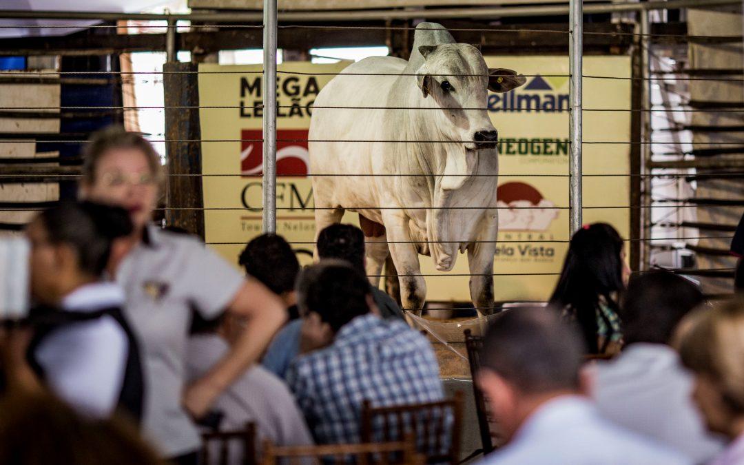 Megaleilão Nelore CFM vende 1.000 reprodutores com as melhores condições de compra e frete