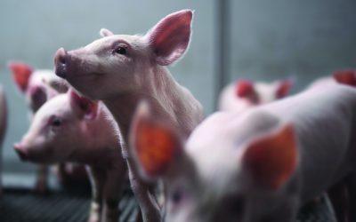 Ceva Saúde Animal irá doar uma tonelada e meia de carne suína com a ação Ajuda de Ponta a Ponta realizada no Brasil Sul de Suinocultura