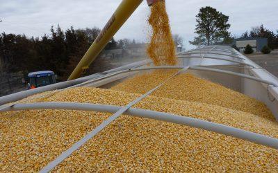 Mais de 70% dos grãos apresentam mais de uma micotoxina, aponta pesquisa da Biomin