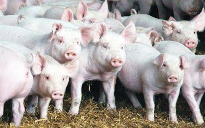 Ceva apresenta soluções veterinárias para suínos no XIX Congresso Nacional Abraves