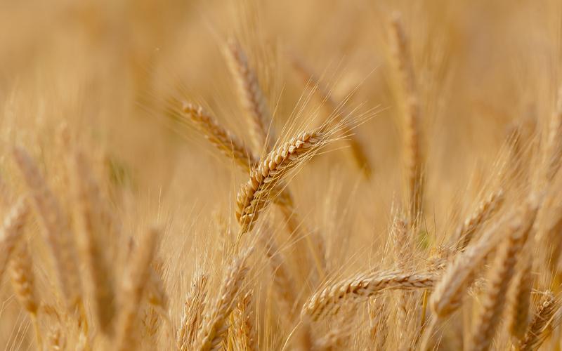 UPL leva soluções para cevada e trigo ao WinterShow, em Guarapuava (PR)