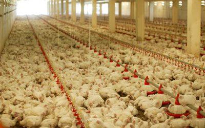 Ácidos orgânicos auxiliam proteção da carcaça de aves