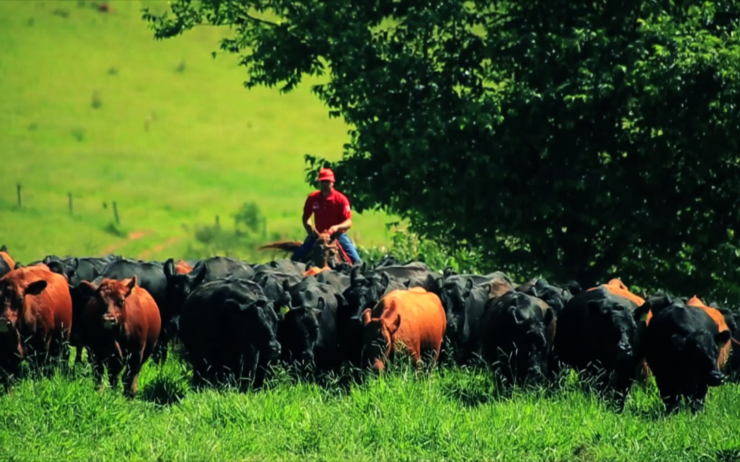 Casa Branca Agropastoril promove Leilão Outono de touros e matrizes Angus e Brahman