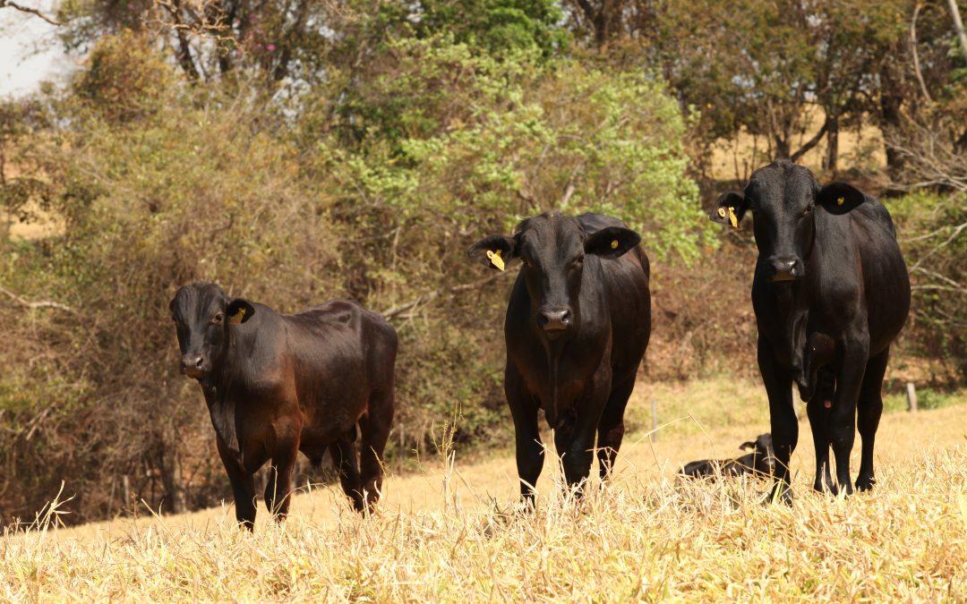 Carrapato: grande entrave à produtividade pecuária brasileira