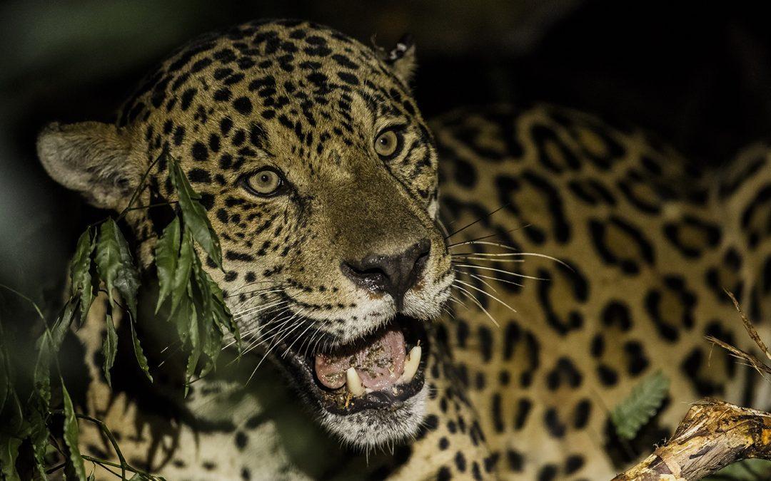 Belgo Arames, Datamars e Projeto Onças do Iguaçu unem-se para preservar a onça-pintada e proteger propriedades da região