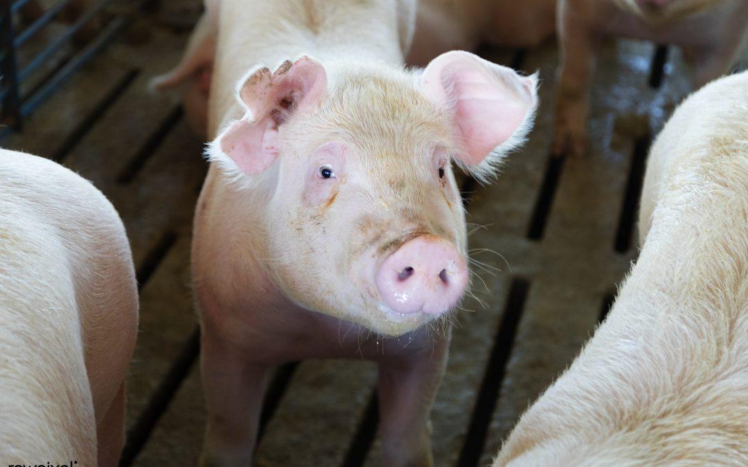 Biosseguridade dentro e fora da granja favorece redução de antibióticos na suinocultura