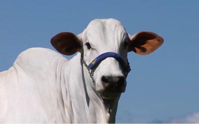 Fazenda do Sabiá promove leilão virtual com oferta de genética diferenciada