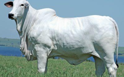 Em leilão virtual, Fazenda Guadalupe oferta novilhas e touros de alta avaliação genética