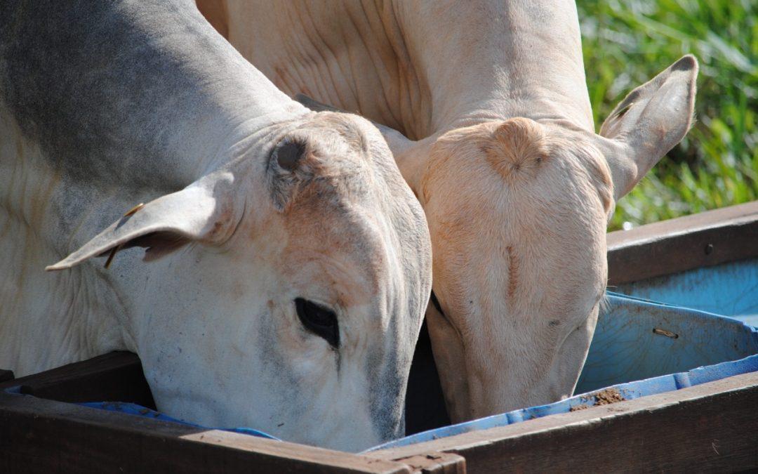 Resíduo da produção de etanol de milho, DDG é atrativo para nutrição dos bovinos de corte, aponta pesquisa da Unesp e da Trouw Nutrition