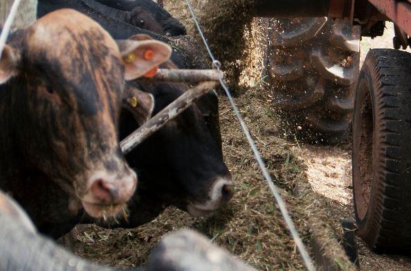 Somente 10% dos bovinos são confinados. Há espaço para crescimento