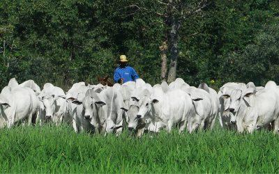 Nelore Machadinho promove seu 10º leilão de touros de alta qualidade