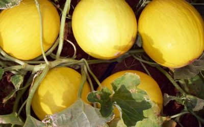 Manejo do melão no Rio Grande do Norte apresenta bons resultados com BRANDT