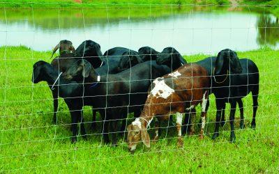 Sucesso da criação de caprinos e ovinos exige cercamento eficaz da propriedade, afirma especialista da Belgo Bekaert Arames