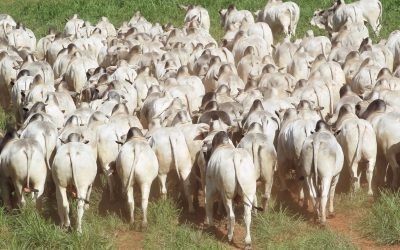 Megaleilão Nelore CFM abre as vendas do ano com a oferta de 650 touros