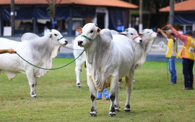 Nelore cria ação para valorização da raça e da pecuária brasileira