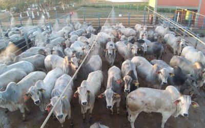 Pecuaristas de Alta Floresta (MT) superam a seca e apresentam animais de destaque no Circuito Nelore