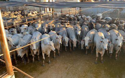Circuito Nelore já avaliou mais de 5.000 animais em 2020