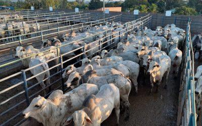 Circuito Nelore de Qualidade avalia 378 animais Porto em Velho (RO)