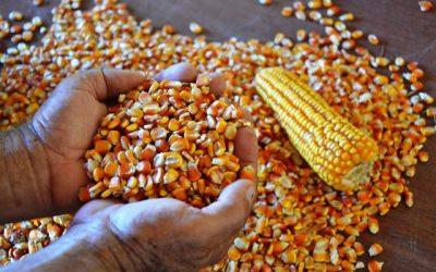 Webinar destaca a importância do controle de aflatoxina em grãos