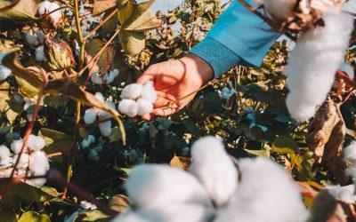 Perfil do solo e tecnologia são decisivos para a cultura do algodão