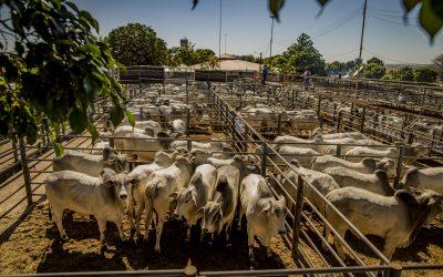 Megaleilão Nelore CFM comercializou 695 touros por R$ 8,34 milhões
