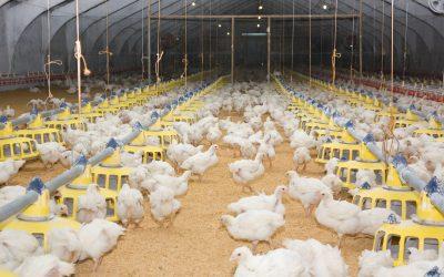 Temperaturas altas afetam o consumo de ração em frangos de corte