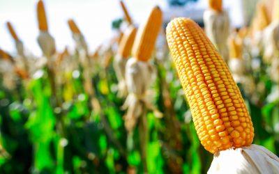 Micotoxina fumonisina, presente no milho, é o maior risco para as rações animais, aponta pesquisa global da Biomin