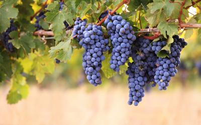 Família Casaril, sete décadas aprimorando a produção de uva
