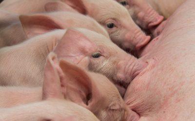 Controle da temperatura de suínos pode ser alcançada com correta estratégia nutricional