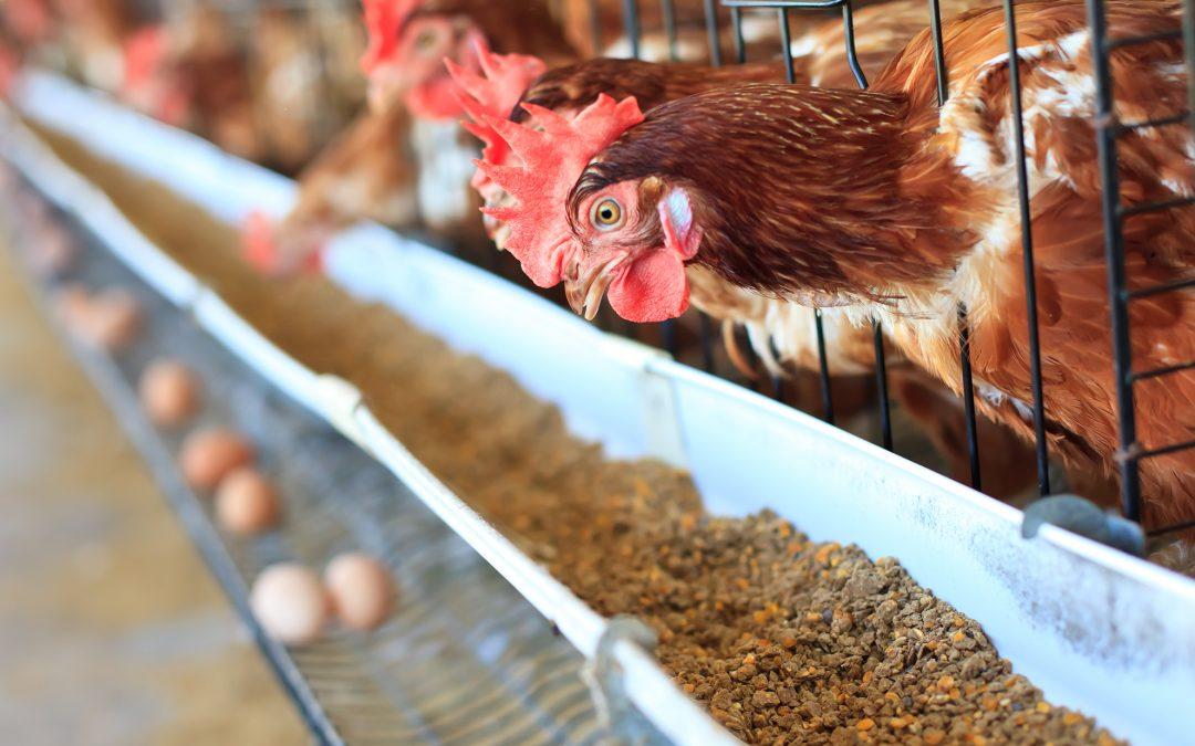 Proporção de cálcio e fósforo na ração é determinante para a qualidade de casca dos ovos
