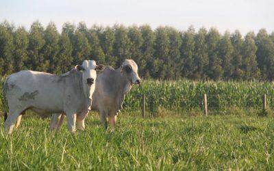 Sistema ILPF cresce, proporciona lucro para o produtor, mas necessita de cercamento adequado