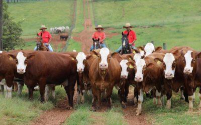 Leilão Outono Simental Casa Branca vende touros por R$ 18 mil de média e atrai 28 compradores de 9 estados