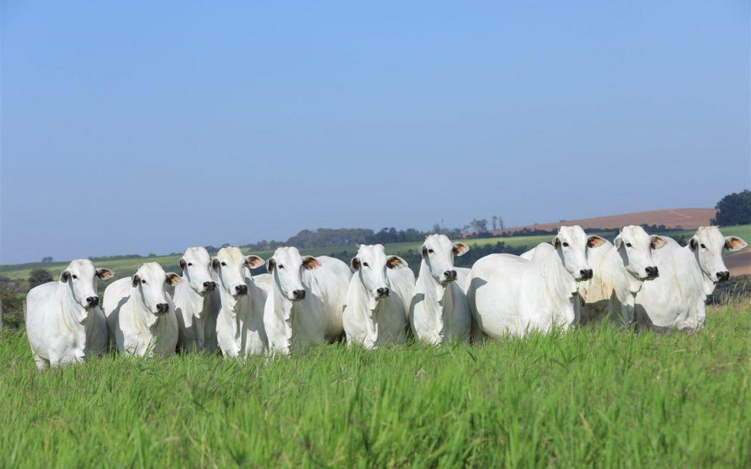 Fazenda Terra Boa promove leilão com oferta de Nelore e Brangus selecionados e rigidamente avaliados