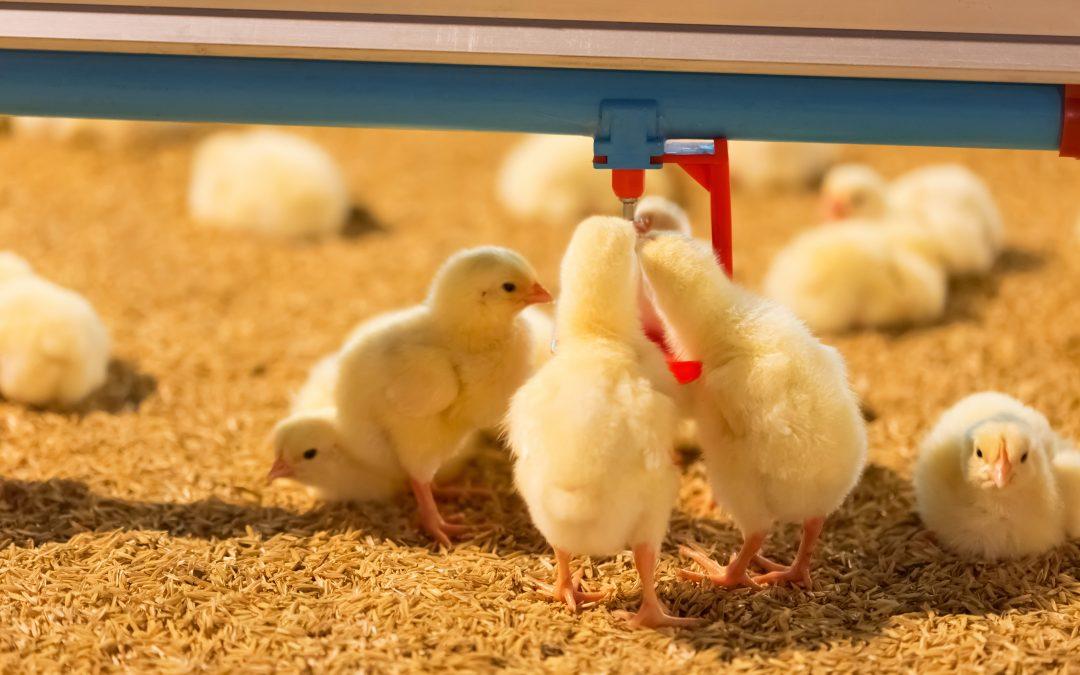 É preciso ter segurança na escolha de probióticos de qualidade para alimentação das aves de corte e de postura