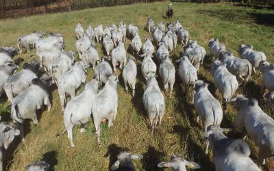 Megaleilão CFM oferta os 500 melhores touros Nelore CEIP nascidos em 2019
