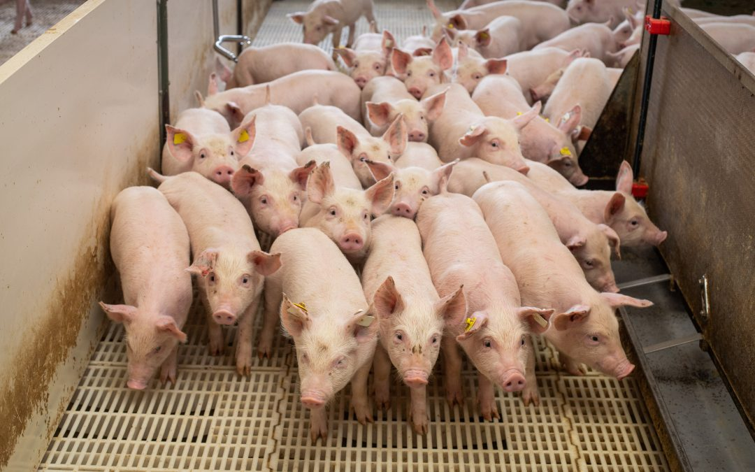 Nebulização é eficaz para redução da incidência de enfermidades respiratórias em granjas suínas