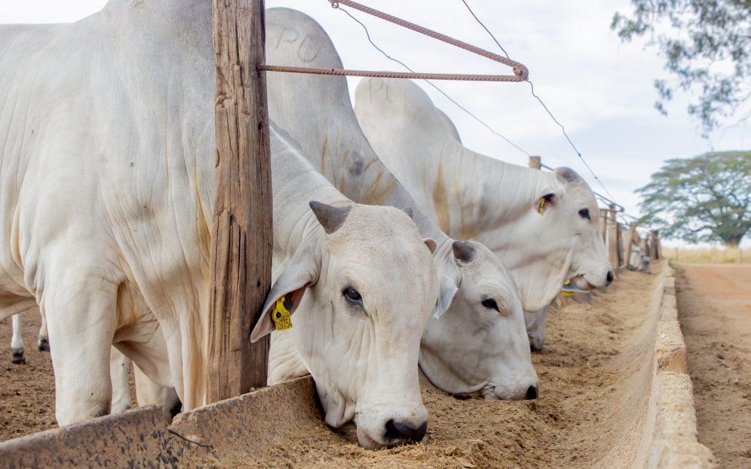 Dieta de confinamento também precisa proteger o fígado dos bovinos