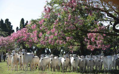 Fazenda Brumado promove mais uma edição do tradicional leilão da raça Nelore